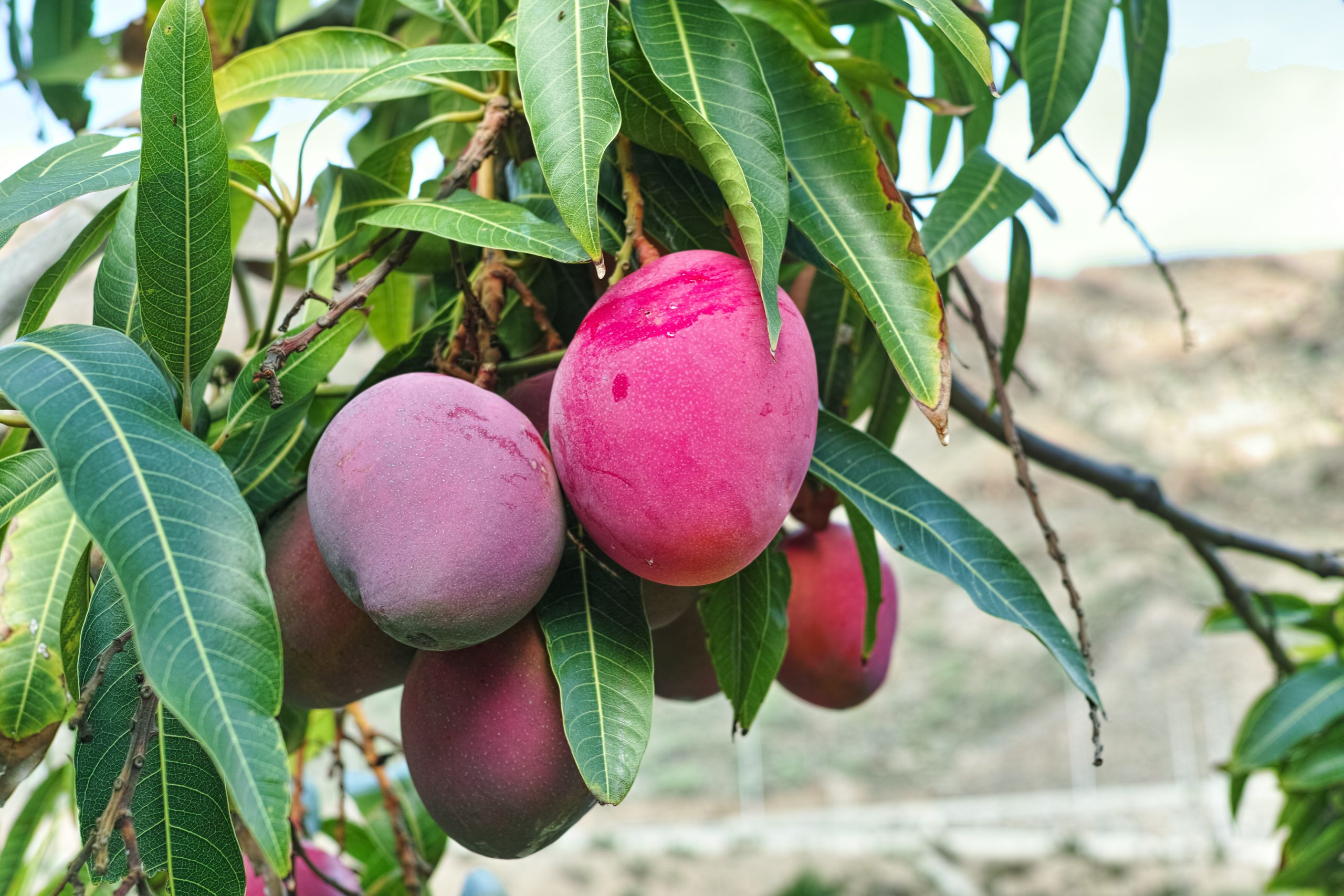 Tropical mango tree with big ripe mango fruits growing in orchard on Gran Canaria island, Spain. Cultivation of mango fruits on plantation.