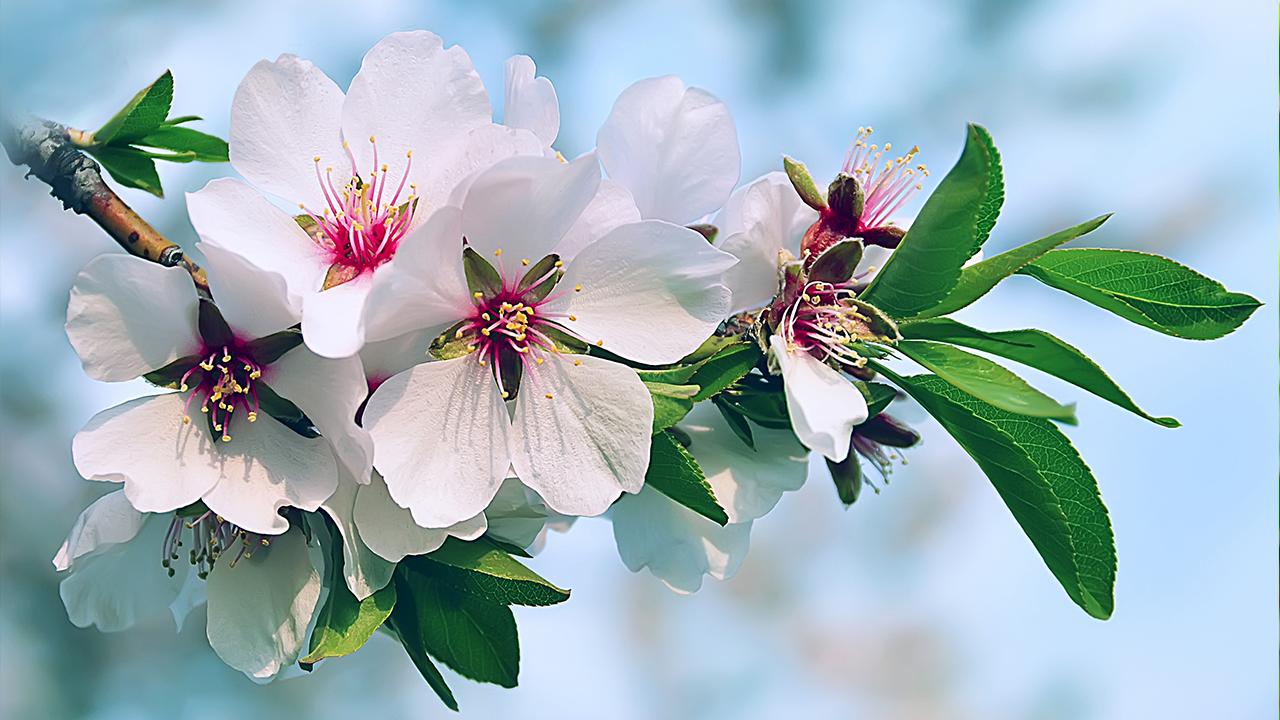 floracion almendro