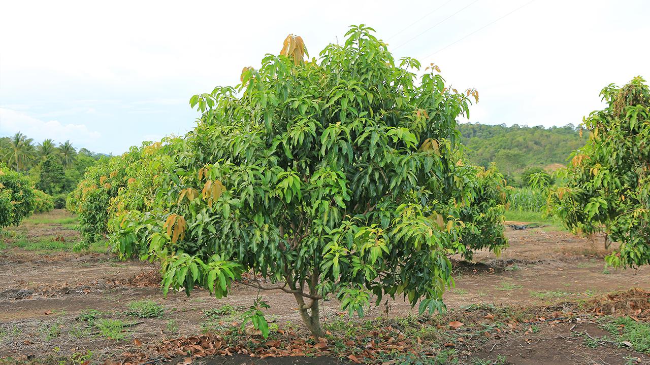 Requerimientos edafoclimáticos del mango